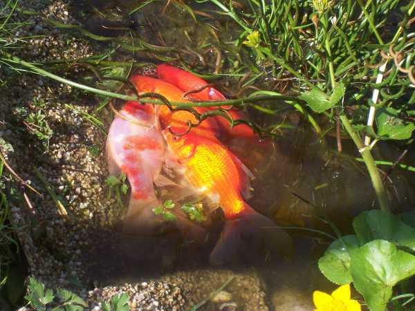 Teichfische schleierschw nze garnelenforum for Teichfische arten bilder
